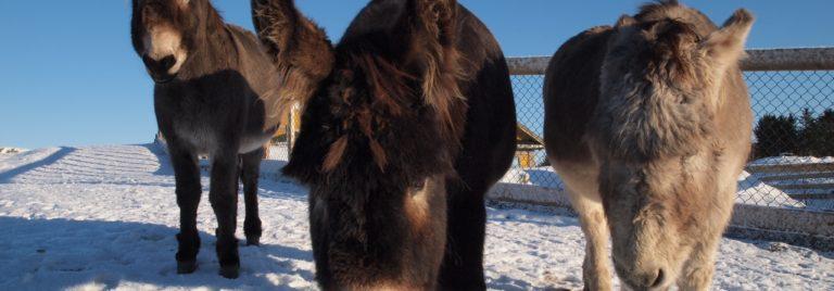 Esel til fjernadopsjon