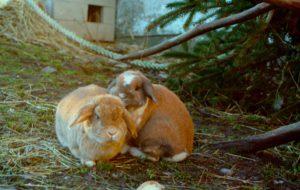 kanin2